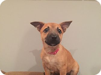 Boxer/Chihuahua Mix Puppy for adoption in Atlanta, Georgia - Bezzie
