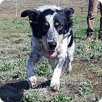 Border Collie/Australian Cattle Dog Mix Dog for adoption in Santa Rosa, California - GRACE