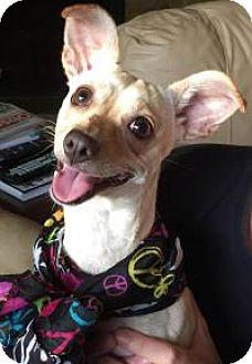 Dachshund/Chihuahua Mix Dog for adoption in New Smyrna Beach, Florida - Bitsy