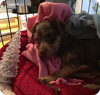 Tea Cup Poodle/Toy Fox Terrier Mix Puppy for adoption in Corona, California - Karley Lullaby, found thrown