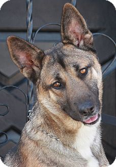German Shepherd Dog Mix Dog for adoption in Los Angeles, California - Chuck von Wolsic