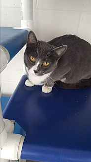Domestic Shorthair Cat for adoption in Middletown, New York - Hunter