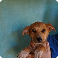 Adopt A Pet :: Pansy - Oviedo, FL