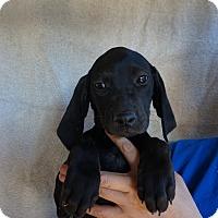 Adopt A Pet :: Koa - Oviedo, FL