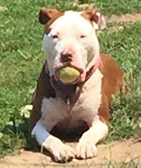 Pit Bull Terrier Dog for adoption in Freeport, New York - Honey