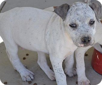 Pit Bull Terrier Puppy for adoption in Pahrump, Nevada - Newman