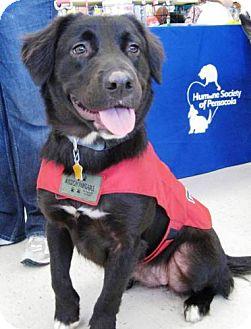 Labrador Retriever/Border Collie Mix Dog for adoption in Cantonment, Florida - Midnight