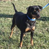 Miniature Pinscher Mix Dog for adoption in Oxford, Wisconsin - TickTick