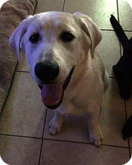 Labrador Retriever Dog for adoption in Denton, Texas - Molly