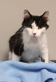 Domestic Mediumhair Cat for adoption in Somerset, Kentucky - Angel