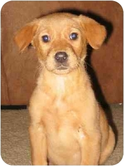 Golden Retriever Mix Puppy for adoption in Charlotte, North Carolina - Sadie