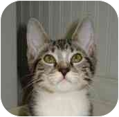 Domestic Shorthair Kitten for adoption in Richmond, Virginia - Littlefoot