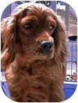 Cocker Spaniel Dog for adoption in San Diego, California - Sara