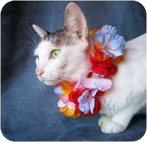 Domestic Shorthair Cat for adoption in Puunene, Hawaii - Cindy Lou