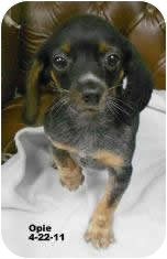 Dachshund Mix Puppy for adoption in Avon, New York - Opie