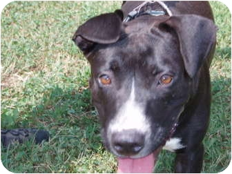 American Pit Bull Terrier Mix Dog for adoption in Williston, Vermont - Savannah