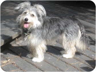 Wheaten Terrier/Terrier (Unknown Type, Medium) Mix Dog for adoption in New Milford, Connecticut - Zimmie