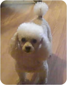 Toy Poodle Dog for adoption in Melbourne, Florida - MICHELOB