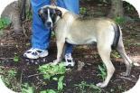Black Mouth Cur Mix Dog for adoption in Summerville, South Carolina - Athena