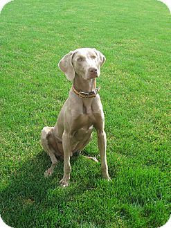Weimaraner Dog for adoption in Grand Haven, Michigan - Brees