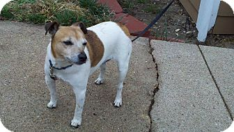 Jack Russell Terrier Dog for adoption in Omaha, Nebraska - Jake