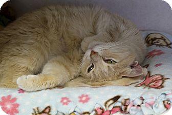 Domestic Mediumhair Cat for adoption in Chicago, Illinois - Yolandi