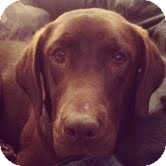 Labrador Retriever Mix Dog for adoption in Salem, Massachusetts - Lola