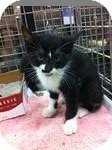 Domestic Shorthair Kitten for adoption in Pittstown, New Jersey - Sebastion