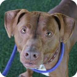 Labrador Retriever/Terrier (Unknown Type, Medium) Mix Dog for adoption in Eatontown, New Jersey - Rocco