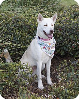 Husky Mix Dog for adoption in Humble, Texas - Snowy