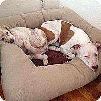 Adopt A Pet :: Clara Belle - Phoenix, AZ