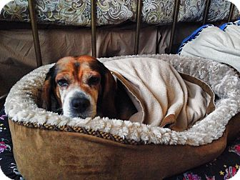 Beagle Dog for adoption in Hockessin, Delaware - Molly