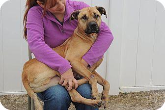 Boxer Mix Dog for adoption in Boston, Massachusetts - BRUTIS