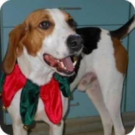 Treeing Walker Coonhound Dog for adoption in North Wilkesboro, North Carolina - Hunter