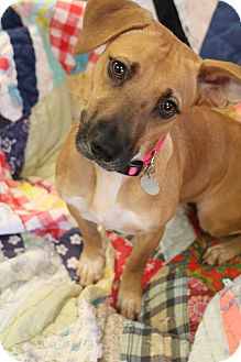 Labrador Retriever/Terrier (Unknown Type, Medium) Mix Dog for adoption in Homewood, Alabama - Layla
