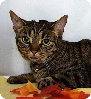Domestic Shorthair Cat for adoption in Dublin, California - Kittles