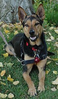 German Shepherd Dog/Australian Kelpie Mix Dog for adoption in Fremont, California - Morgan D5104 (was D2580