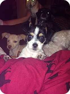Chihuahua/Terrier (Unknown Type, Small) Mix Puppy for adoption in Dallas, Texas - Patchi