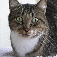Domestic Shorthair Cat for adoption in Lago Vista, Texas - Comet