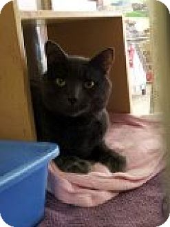 Domestic Shorthair Cat for adoption in Manchester, Connecticut - Haze