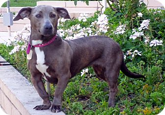 Dachshund Mix Dog for adoption in Los Angeles, California - Margo