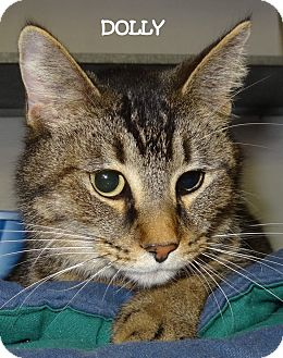 Abyssinian Cat for adoption in Lapeer, Michigan - DOLLY--WELL HELLO!!