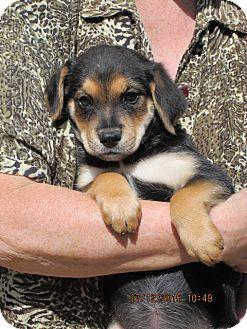 Flat-Coated Retriever/Hound (Unknown Type) Mix Puppy for adoption in Williston Park, New York - Calypso