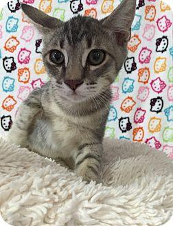 Domestic Shorthair Kitten for adoption in Fountain Hills, Arizona - NEON