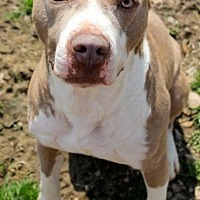 Pit Bull Terrier Dog for adoption in Memphis, Tennessee - Buster