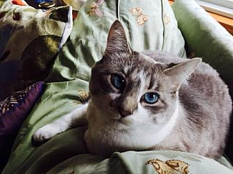 Domestic Shorthair Cat for adoption in Eagan, Minnesota - Agnes