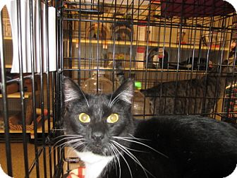 Domestic Shorthair Cat for adoption in Hazlet, New Jersey - JazzyGirl