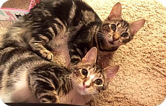 American Shorthair Kitten for adoption in Jacksonville, Florida - Bonnie & Clyde