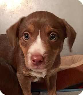 Labrador Retriever/Australian Shepherd Mix Puppy for adoption in Columbia, Tennessee - Cali