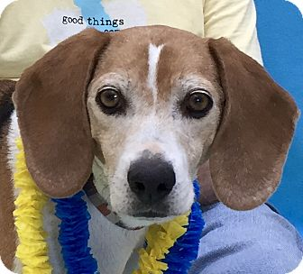 Beagle Mix Dog for adoption in Evansville, Indiana - Lucky
